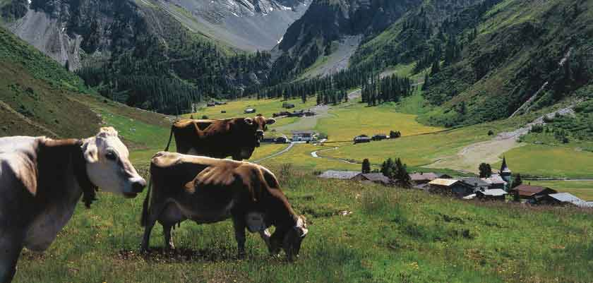 Switzerland_Graubünden-Region_Davos_Cows-field-valley.jpg